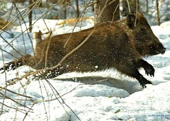 Все об охоте - Охота на кабана