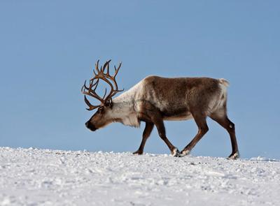 Охота на дикого северного оленя (ВИДЕО)