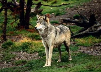 Охота на волка на логовах с гончими: волк: Статьи об охоте и рыбалке